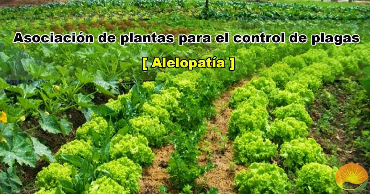 Asociación de plantas para el control de plagas. Alelopatía.
