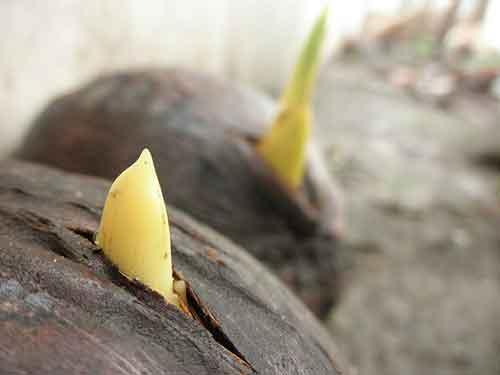 Cocos germinando