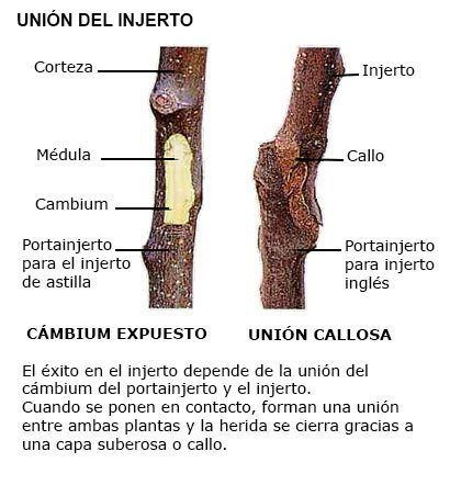 Injerto - Unión