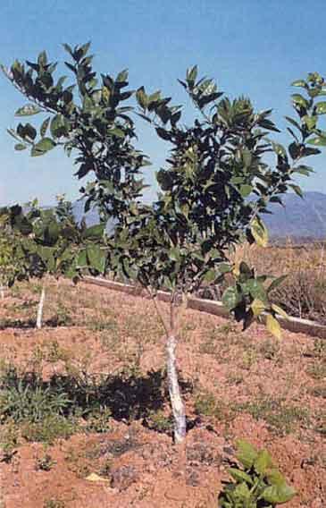 Poda de cítricos. Árbol de dos años, formado a tres ramas.