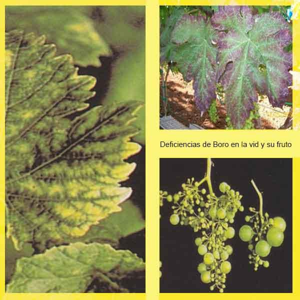 Deficiencias de boro en la vis y su fruto