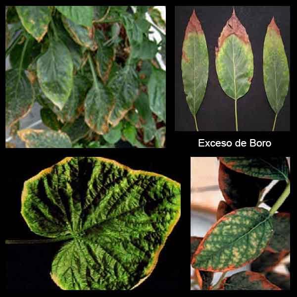 Excesos de boro en hojas
