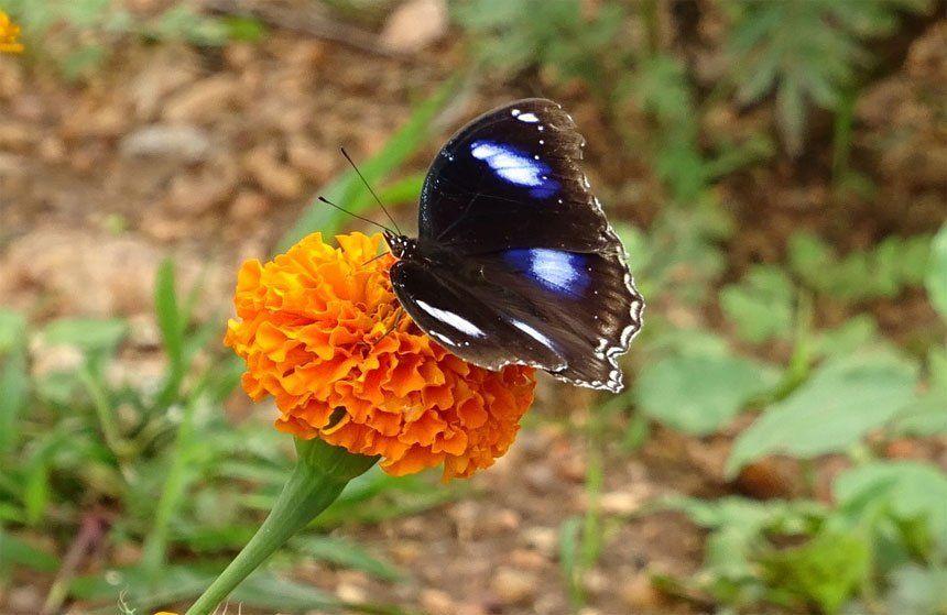 Mariposa polinizando flor de muerto