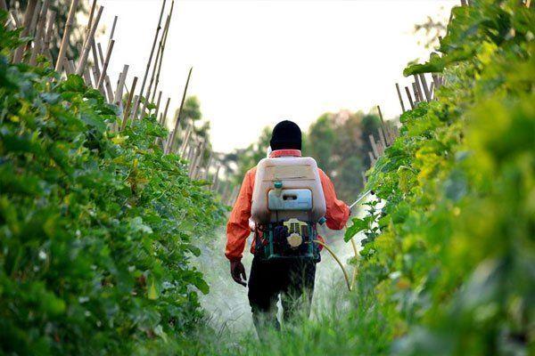 Aplicación de biofunguicida a cultivos de tomates