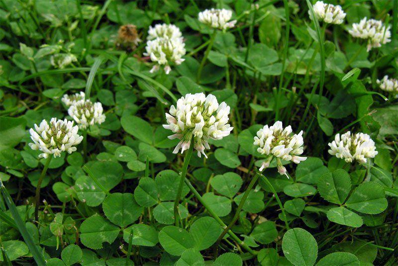 Abonos verdes. Trifolium sp.
