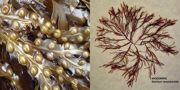 Algas pardas para uso agrícola