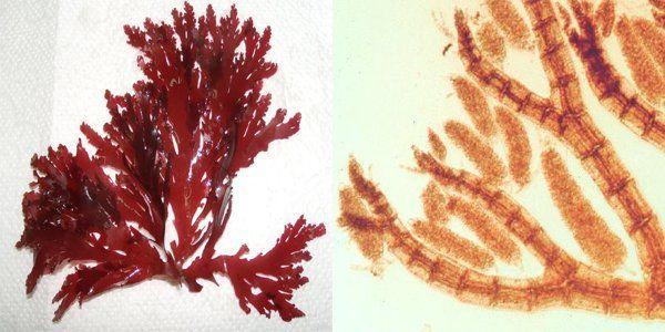 Algas rojas para uso agrícola