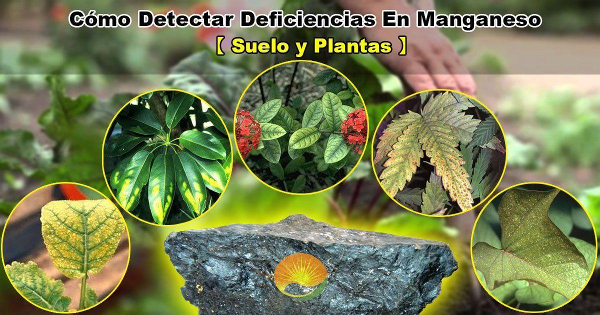 Deficiencias en manganeso