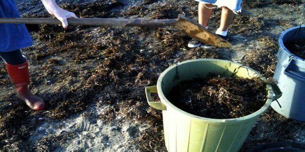 Recolección de algas en la playa