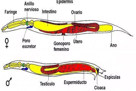 Género sexual de los nematodos.