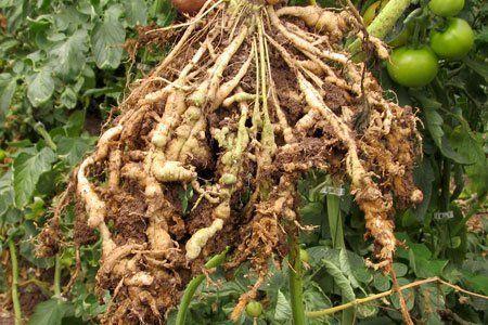 Nemátodos en raíces de tomateras