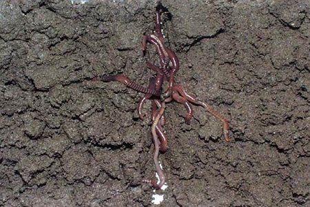 Lombrices como microfauna del suelo