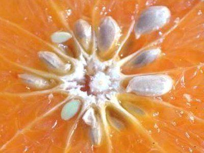 Semillas de cítricos. Naranja agría.